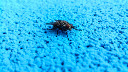 Macro shot of fly on a blue background photo
