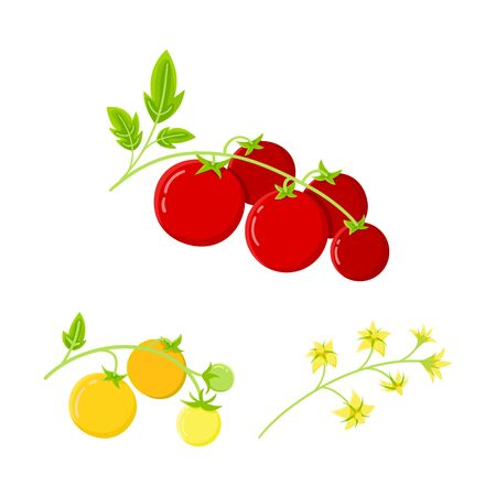 Cherry tomato, home plant. Ripe red tomatoes icon on a plant branch. Isolated elements of tomato, flowering.