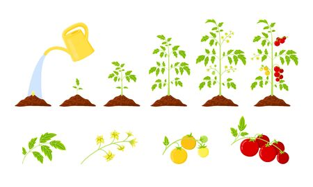 Tomatoes growth vector infographics. Elements: leaves, bloom, unripe tomatoes and ripe fruits on a branch. Life cycle vegetable plant.