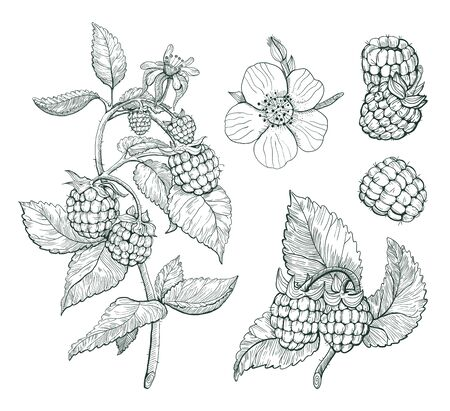 Sketch of raspberry, isolated drawing on white background. Summer fruit from local farm or market engraved style illustration. Hand drawn elements for label, package Ilustracja