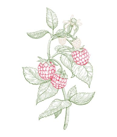 Raspberry with leaves. Summer fruit from local farm or market engraved style illustration. Hand drawn element for label.