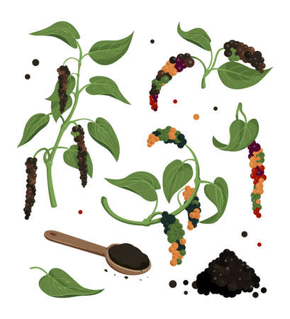 Black pepper plant with leaves and peppercorns, isolated icons. Botanical illustration for labels, packages, culinary ingredient.