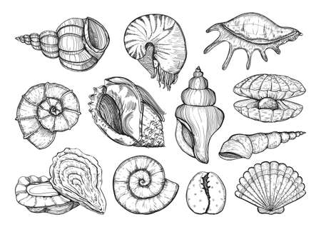 Collection of various seashell, mollusk, nautilus, shells different forms. Sea shell isolated sketch drawing
