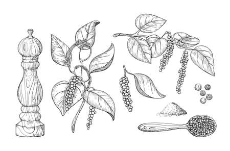 Culinary black pepper hand draw set isolated on white background. Pepper plant with leaves, engraved print.