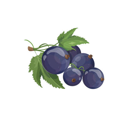 Sweet blue berries on a branch isolated on white background. Currant icon element for product  , emblems, packaging.