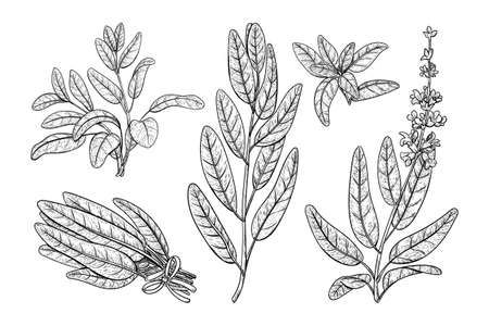 Sage plant with leaves. Salvia sketch vector Herbal engraved print. Vintage sketch element for labels, packaging design.