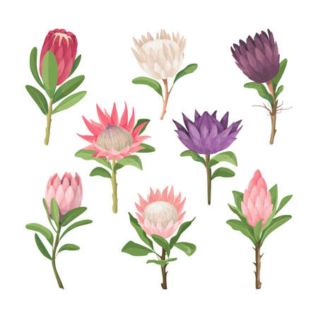Cartoon Protea flowers icons. Vector botanical set of isolated exotic flower with leaves.  Tropical plant. Vector illustration.