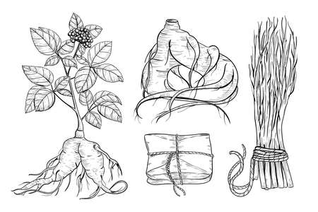 Ginseng medical plant vector drawing. Root and leaves panax ginseng. Hand drawn engraved botanical illustration.