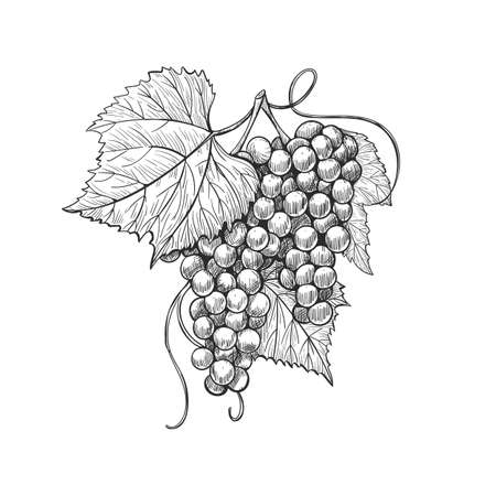 Hand drawn grape bunches with leaves, isolated on white background, ink style. Vector Composition of a bunch of grapes on a stem with leaves. Иллюстрация