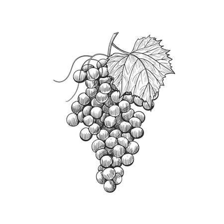 Hand drawn vector grape, isolated on white background, ink style.  Bunch of grapes on a stem with leaves.