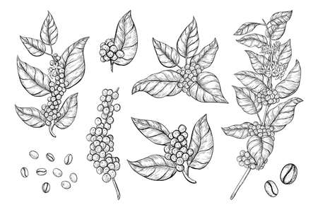 Coffee branches and beans sketch style. Hand drawn set of coffee tree branches with leaves, flowers and ripe fruits.
