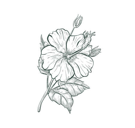 Sketch Hibiscus flower, isolated flower retro sign. Tropical flower Hibiscus