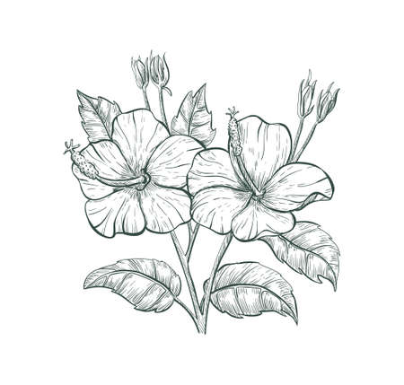 Tropical flower Hibiscus, vector sketch illustration. Sketch Hibiscus flower Иллюстрация