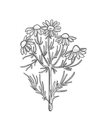 Vector chamomile sketch. Matricaria chamomilla medicinal plant hand drawn illustration.