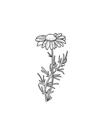 Vector Chamomile sketch. Matricaria chamomilla medicinal plant hand drawn illustration. Иллюстрация