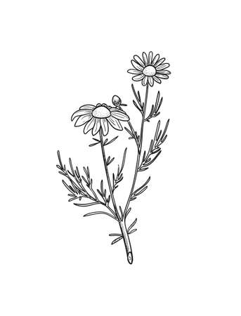 Vector Chamomile sketch. Botanical engraved art daisy flowers. Иллюстрация