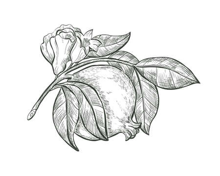 Sketch Pomegranate fruit and flower on a branch, isolated engraved sign. Garnet fruit vector sketch illustration. Иллюстрация