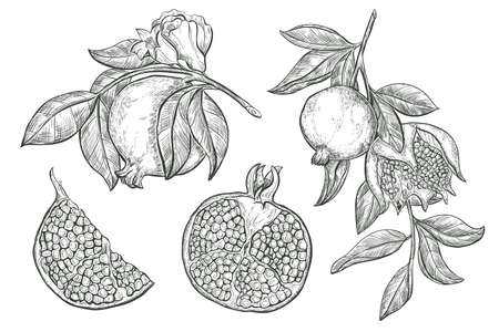 Garnet fruit vector sketch illustration. Sketch Pomegranate fruits and flower on a branch, isolated engraved sign.