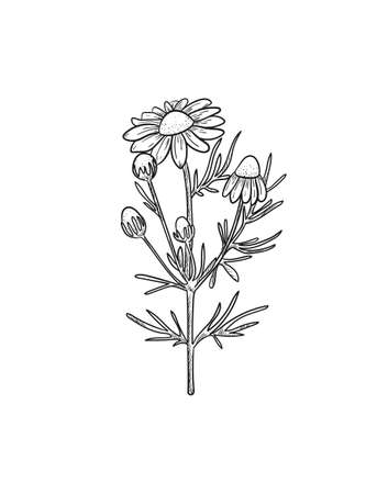 Vector Chamomile sketch. Botanical engraved art daisy flowers. Matricaria chamomilla medicinal plant hand drawn illustration.