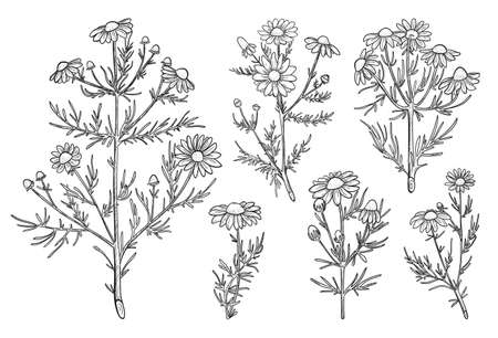 Chamomile vector set in line sketch style. Hand drawn Chamomile flowers elements for nature label. Chamomile medicinal plant