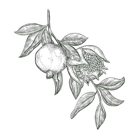 Sketch Pomegranate fruits on a branch, isolated engraved sign. Garnet ripe fruit vector sketch illustration.