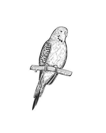 Sketch Budgerigar parrot vector illustration. Budgie parrot exotic bird engraving art design.
