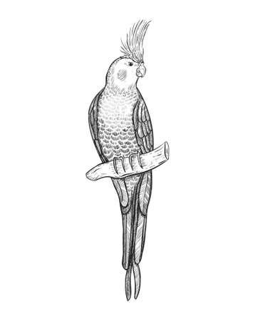 Sketch tropical parrot cockatiel vector illustration. Cockatoo parrot on a branch isolated on white.