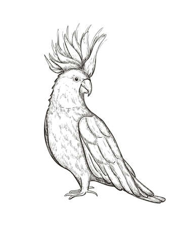 Sketch tropical parrot cockatoo vector illustration. Cockatoo parrot on a branch isolated on white. Иллюстрация