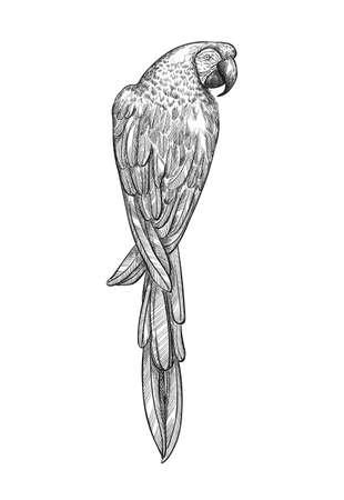 Sketch tropical parrot macaw vector illustration. Ara parrot exotic bird engraving art design. Иллюстрация