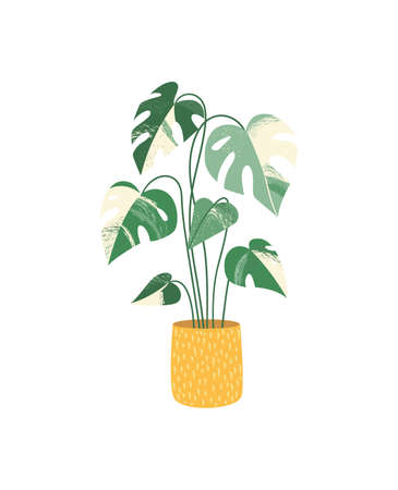 Potted house plant vector icon. Monstera variegated. Indoor plant with beautiful tropical foliage.