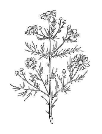 Vector chamomile sketch. Matricaria chamomilla medicinal plant hand drawn illustration. Botanical engraved art daisy flowers. Иллюстрация