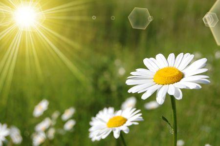 campo de margaritas: un �nico daisy en el campo verde  Foto de archivo