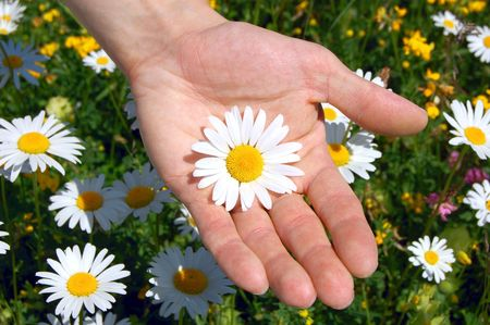 hands holding a daisy in front of of a greenfield