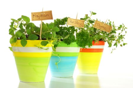 herbs plant in colored pots isloladet on white background                                     photo