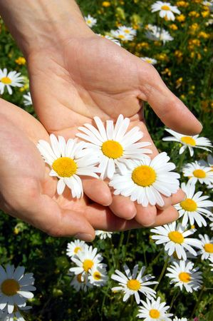 greenfield: hands holding a daisy in front of of a greenfield