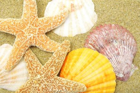 seastar: beach background with sand, shells and seastar