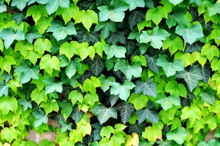 green fresh ivy leaves on a wall Stock Photo - 23341417