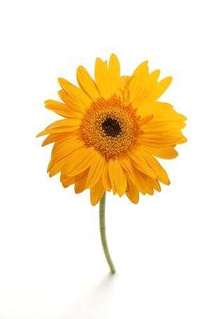 vigor: Single yellow gerber daisy