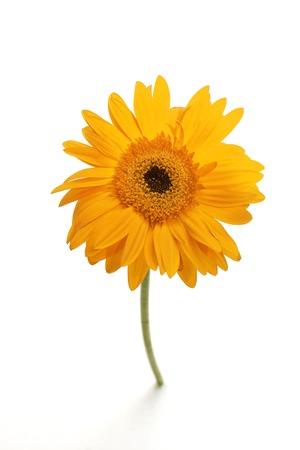 Single yellow gerber daisy