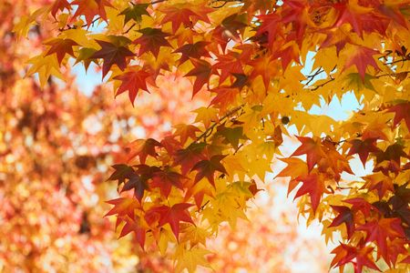 Fall leaves changing color Stock Photo