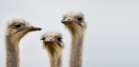 A group of ostriches discussing the day photo