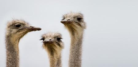 Een groep struisvogels bespreken dag Stockfoto