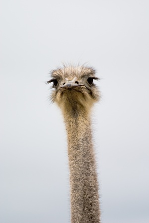 Single ostrich looking at viewer Imagens