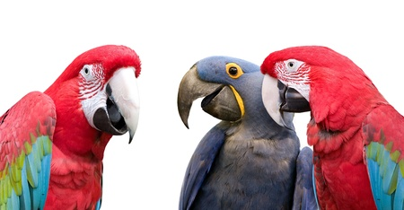 huddle: Three colorful parrots meeting together