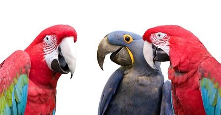 trio: Tres coloridos loros reunirse