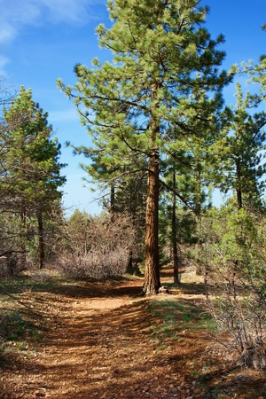 Large forest path winding through the pine trees
