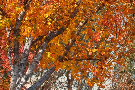 yellows: Brilliant fall autumn foliage showing oranges, reds and yellows Stock Photo