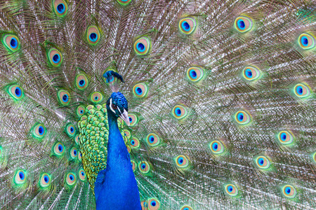 Peacock with colorful feathers fanned out