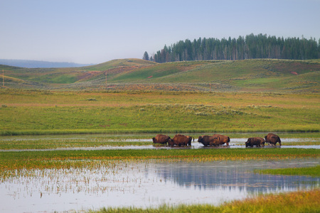 Herd of Bison Wandering in Wetlands of Yellowstone National Park, United States