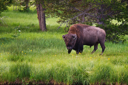 Single bison facing camera in Yellowstone National Park, United States